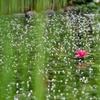 ローズガーデンの池