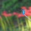 彼岸花と翡翠