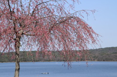 しだれ桜と入鹿池