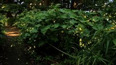 キレンゲショウマの咲く頃