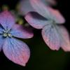 早く逢いたい 紫陽花