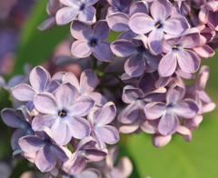 六花のライラック