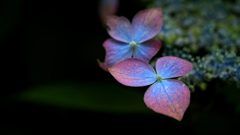 あじさいの咲くころ