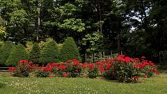 薔薇の咲く公園