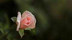 優しくなれるバラ
