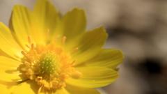 ねずみの額のような庭に、咲いた福寿草