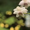 レンゲショウマ 咲く