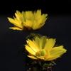 温室の福寿草