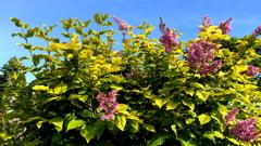 黄色の葉のライラック