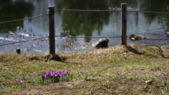 春告げ花 クロッカス