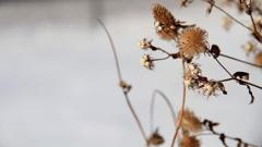 冬枯れの花 -01