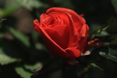 やっと薔薇も咲きだす