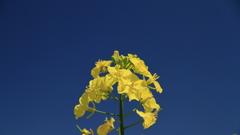 黄色の咲ちょ(さきちょ)