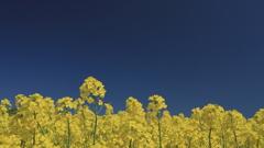 菜の花の山並み