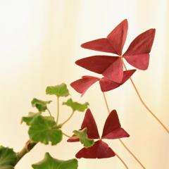 ムラサキカタバミの葉