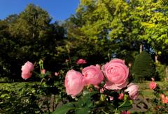 秋バラの咲く公園