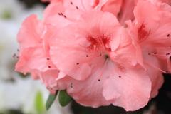 ピンクのアザレア