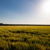 佐賀の麦畑 2