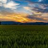麦畑の夕暮れ その3