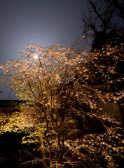 竈門神社の桜と月2
