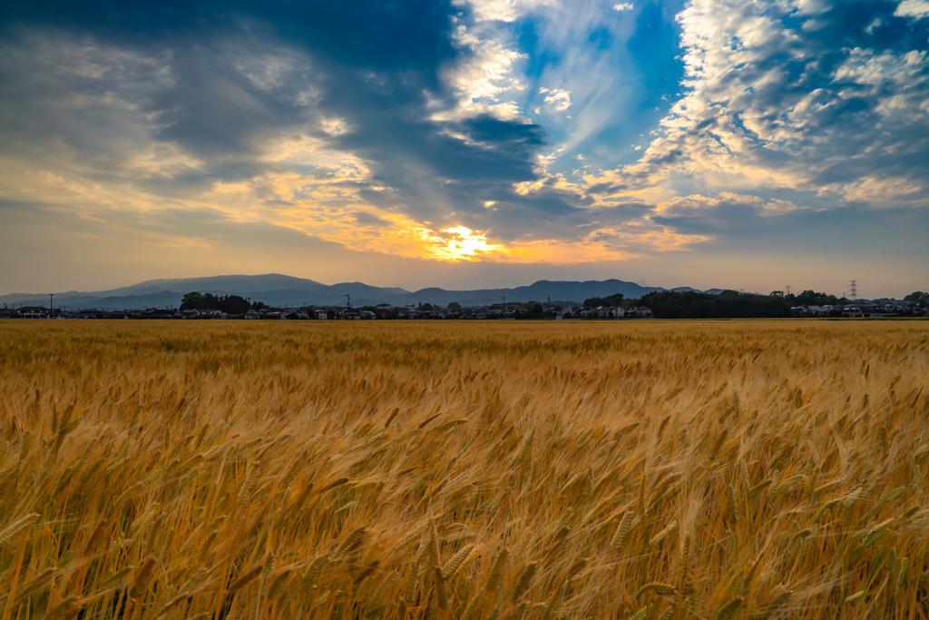 麦畑には夕陽  1