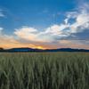 麦畑の夕暮れ その1