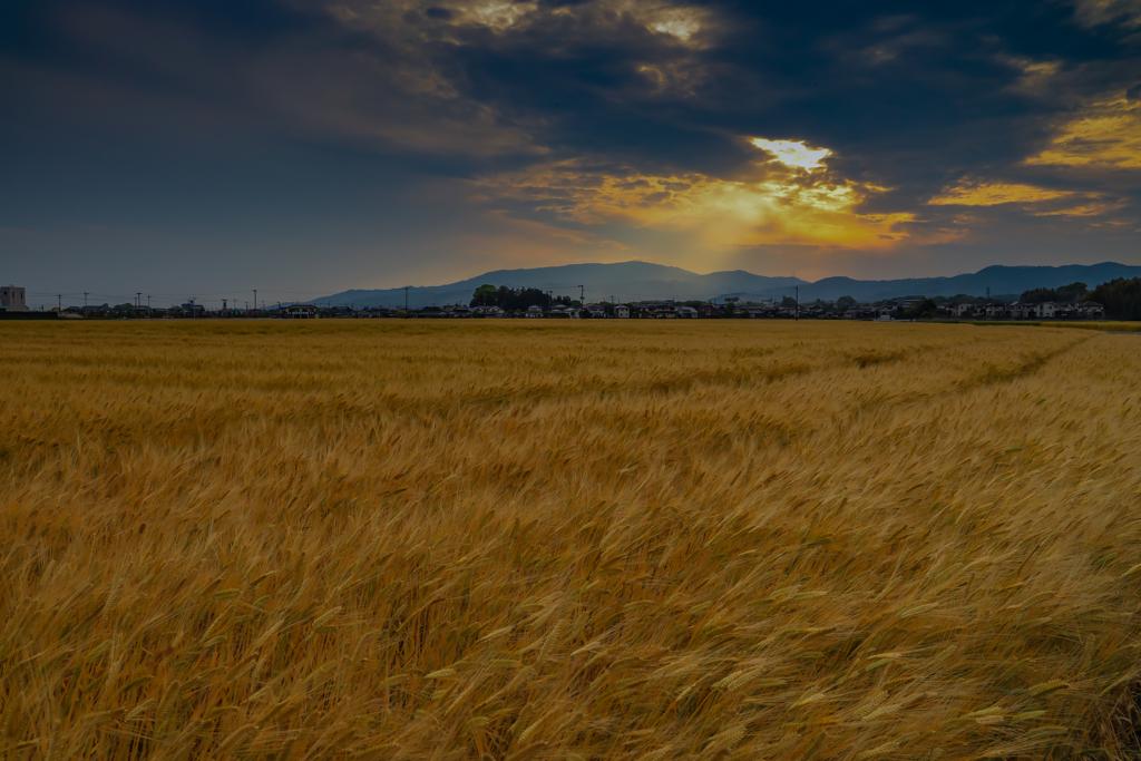 麦畑には夕陽  2