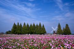 秋桜と風車のある風景