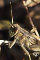 初冬の昆虫達 バッタ