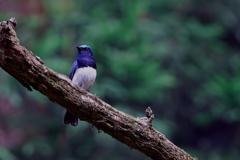 Blue Bird(1)