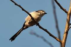 Long-tailed tit -2