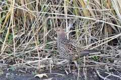 11月⋙手賀沼の野鳥達(9)