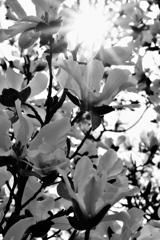 辛夷と春陽