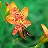 Leopard flower
