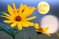 菊芋と今日の月