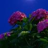 月光と紫陽花
