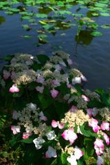 不忍池の紫陽花(1)