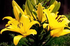 ユリの花 YELLOW