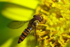 初冬の昆虫たち ホソヒラタアブ