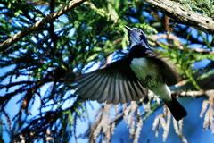 Blue Bird(3)