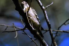 小啄木鳥 (^^♪ ②