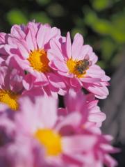 紅紫色の小菊
