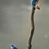 青い鳥の遭遇