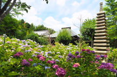 妙郎堂と紫陽花