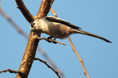 Long-tailed tit -1