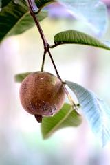 グァバの果