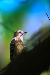小啄木鳥 (^^♪ ①