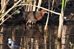 11月⋙手賀沼の野鳥達(6)