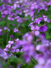 紫色の菜の花