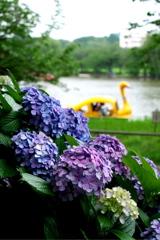 紫陽花とボート池